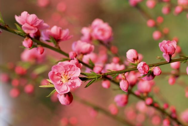 peach blossom tet holiday in vietnam