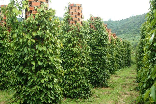phu quoc island pepper farm