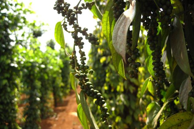 phu quoc pepper farm in vietnam honeymoon holiday
