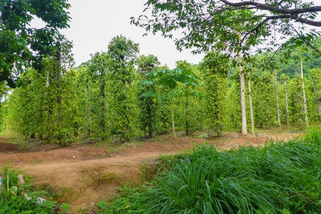 visit pepper farm in phu quoc island